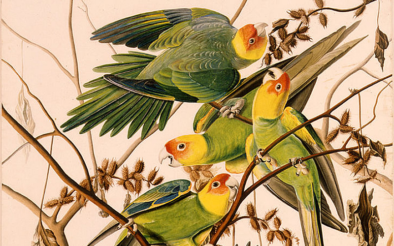 Yes, There Were Parakeets in North America