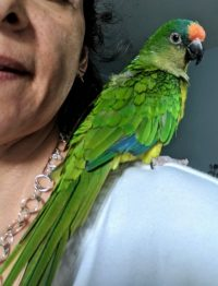 What is a Peach-Fronted Conure Like?