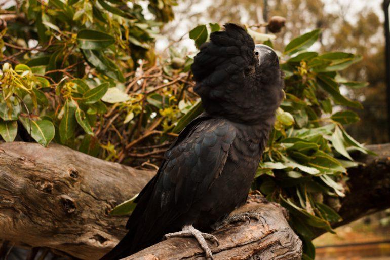 The Black Cockatoos unique to Western Australia