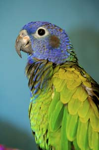 What Is A Blue-headed Pionus Like: A Good Apartment Parrot