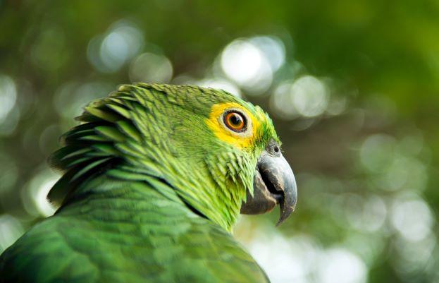 Parrot Tarot