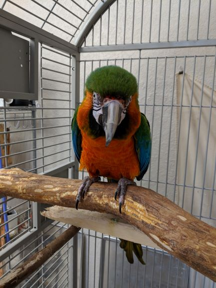 What Are Macaw Parrots Like As Pets?