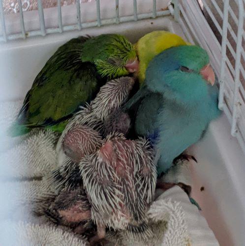 Parrotlet Babies: Weaning Parrots
