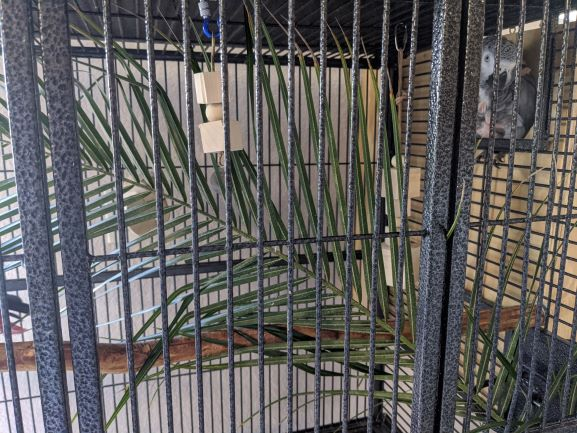 Plucking Saga Continued: Using Different Strategies To Stop My African Greys From Plucking