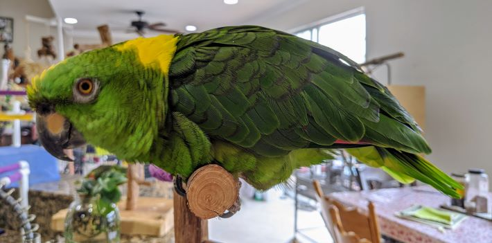 A Lorenza & Heromione Update (Amazon & Senegal Parrots)