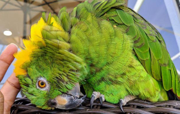 How My Yellow-Naped Amazon Chose Me