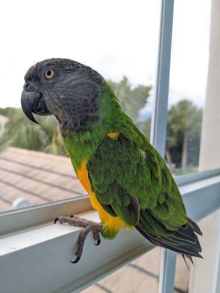 Reading Basic Body Language In Parrots: Harry, Senegal Parrot