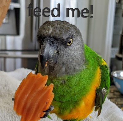What Should I feed My Pet Parrot?